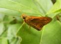 palmdart-butterfly_mooball